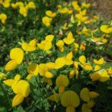 鮮やかな黄色「ミヤコグサ」
