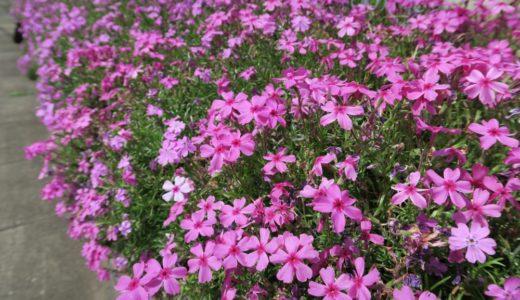 シバザクラ – 春の代名詞的な花のひとつで名前にちなんだ祭りも開催される