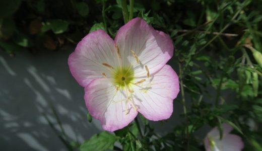 ヒルザキツキミソウ – 春から夏に淡いピンクの花を昼に咲かせる月見草