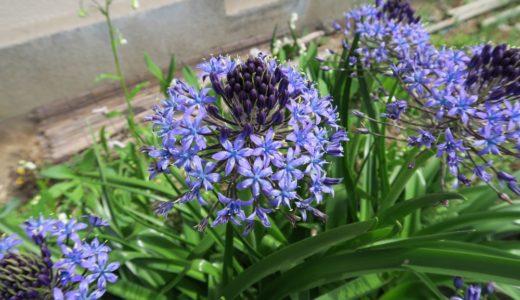 シラー・ペルビアナ - 春、紫色の星型が集まった花を咲かせる紫色の冠