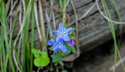 ホタルカズラ - 春に草地や登山道で見かける星型の小さい青い花
