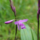 シラン(紫蘭)の花