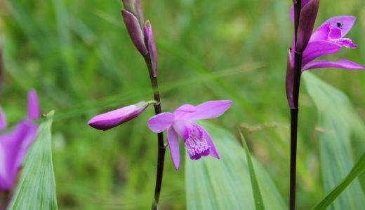 シラン - レッドリスト指定、春に紅紫の花を咲かせる美しい野生の蘭