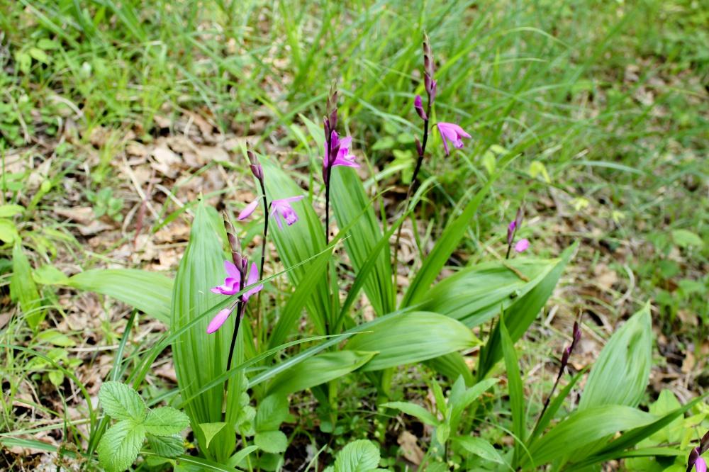 山道で見つけた紫蘭