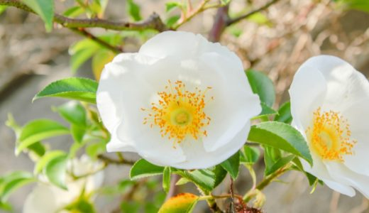 ナニワイバラ - 春から初夏、大輪の真っ白な花を咲かすバラの仲間