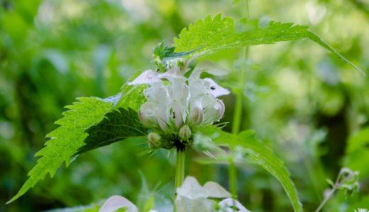オドリコソウ - 春から初夏、不思議な生き物のような白い花を咲かせる野草