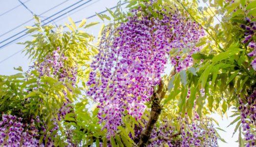 フジ(藤)- 春、すだれ状に紅紫の花を咲かせる日本人に愛される花