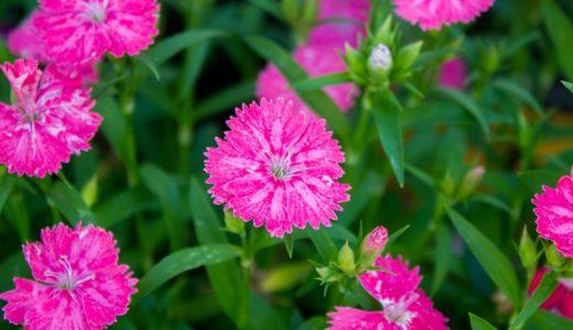 セキチク - 春、ピンクのギザギザの花を咲かせ竹に似た葉をつける