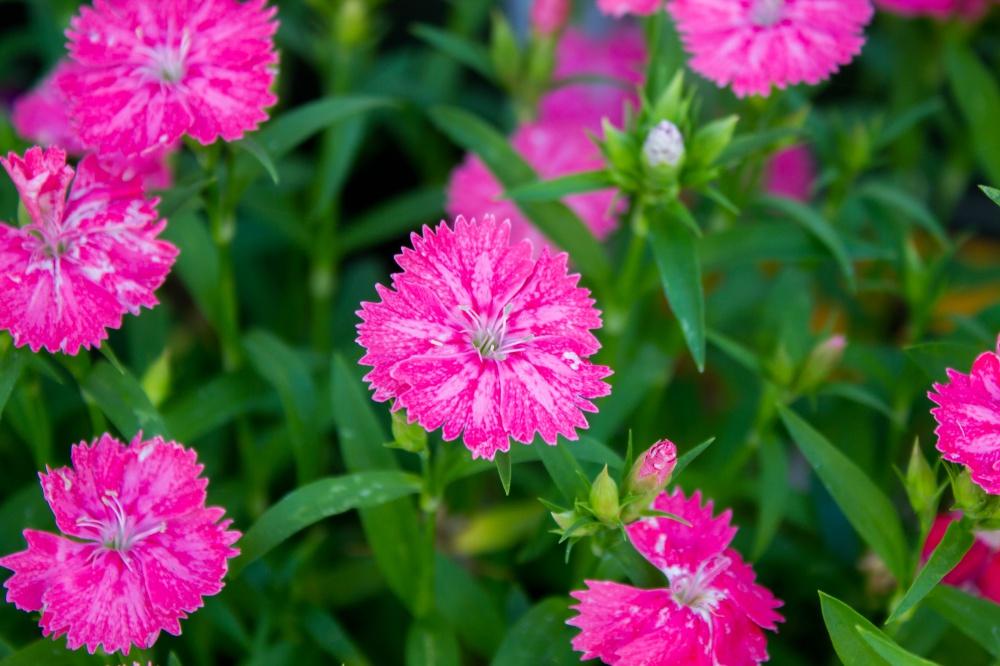 セキチクの花