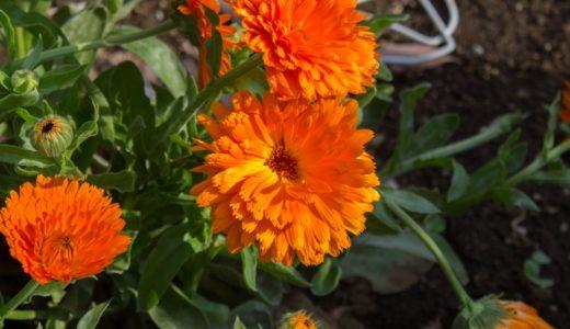 キンセンカ – 春にオレンジの花を咲かせる園芸種、英名カレンデュラ