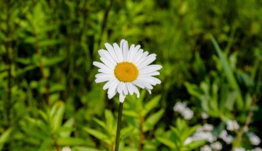 フランスギク - 春に野原や河川敷などで咲き園芸用としてもみかける白い花