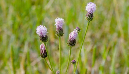 キツネアザミ – 春にピンクの花咲く棘のない小さいアザミ