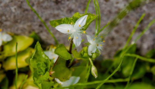 トキワツユクサ - 春から夏、水路の脇などで咲く花びら3枚の白い花