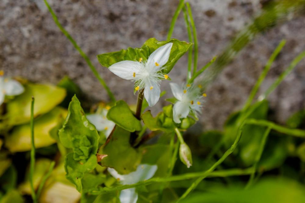 トキワツユクサの花