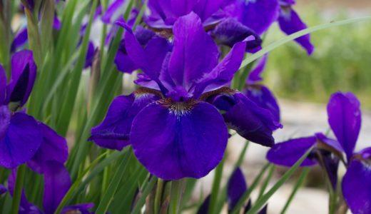 アヤメ - 春から初夏の花・紫の花・花びらに網目模様があればアヤメ