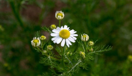カミツレ - ハーブティーで有名な春の白い花、英名はカモミール