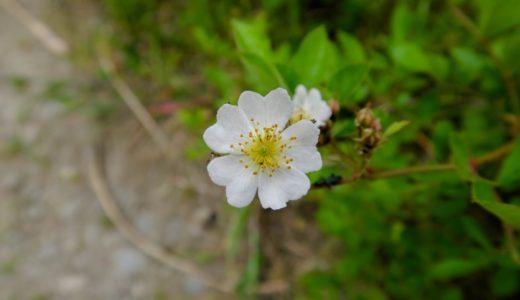 ノイバラ - 晩春から初夏に河原などで白い花を咲かせるバラの仲間
