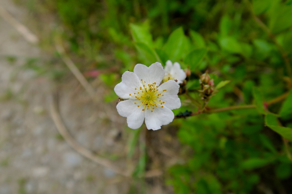 ノイバラの花(野薔薇)
