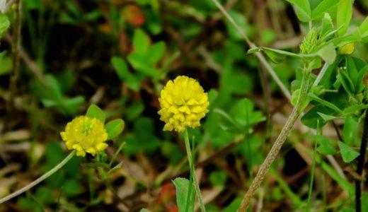 コメツブツメクサ - 春から夏にかけクローバに似た黄色い花を咲かせる