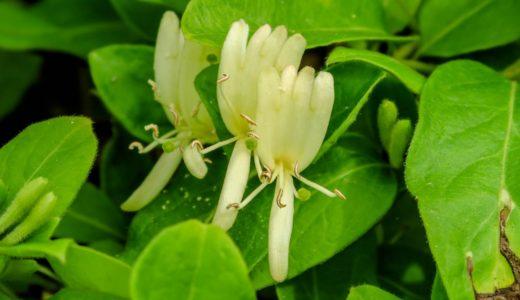 スイカズラ - 春から初夏、白や黄色のフォークみたいな花を咲かせる