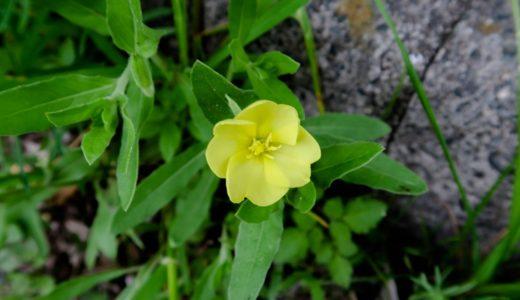 コマツヨイグサ - 春から秋、黄色い花を咲かせるてんとう虫が大好きな野草