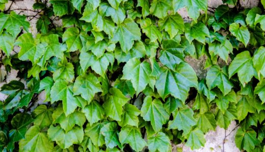 ツタ - よく建物の壁にびっしりある葉っぱ、実は花が咲くんです