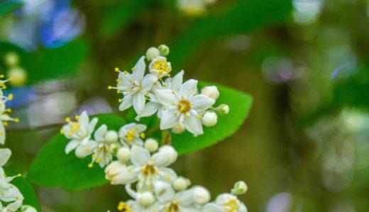 マルバウツギ - 晩春から初夏、小枝に白い星型の花を咲かせる