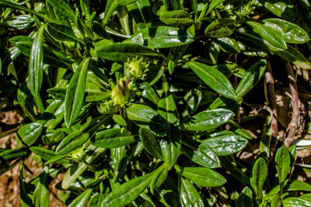 ガザニアの葉