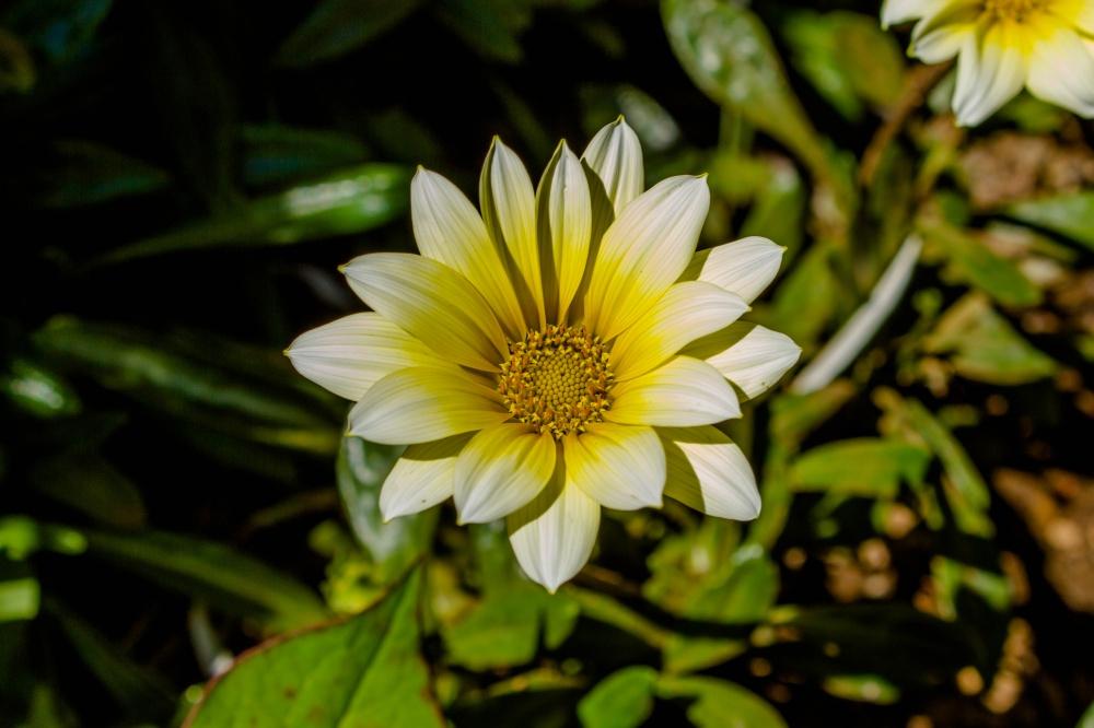 ガザニア(勲章菊)の花