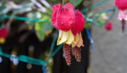 ウキツリボク - 庭などでよく見られる赤い奇妙な花が垂れ下がり咲く