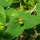 ナツトウダイの花と種子