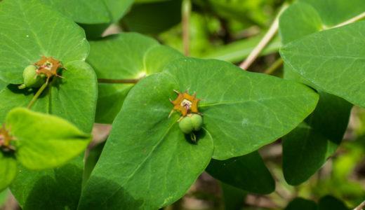 ナツトウダイ - 山で発見!まるで宇宙生物のようにも蛾のようにもみえる野草