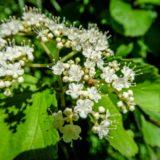 アズキナシの花