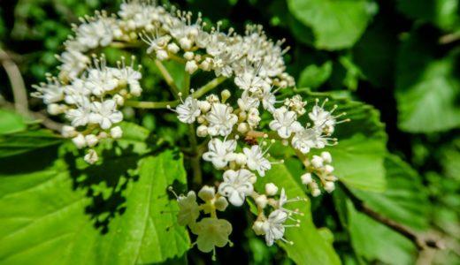 アズキナシ - 晩春から夏に樹木に小さく白い花を沢山さかせる山の花
