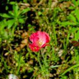 赤いポピーの花