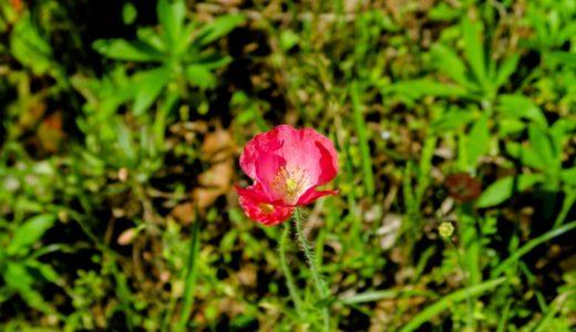 ポピー - チューリップの後に花畑を彩るカラフルなケシ科の園芸花