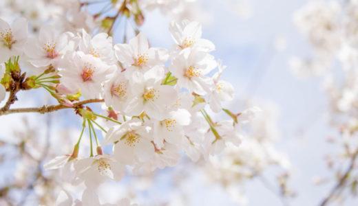【桜の豆知識】ソメイヨシノは品種改良によって生まれた桜!桜のルーツを紹介