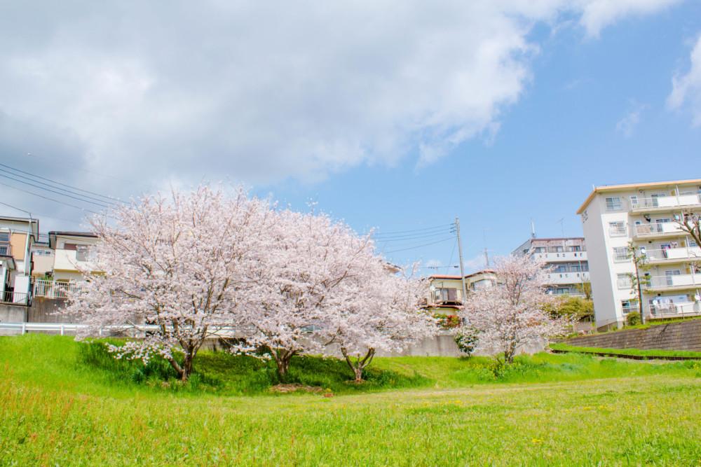 桜のひろば