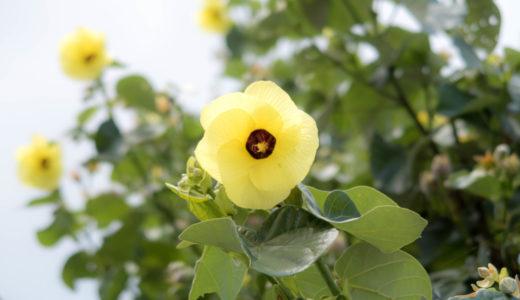 オオハマボウ – 別名ユウナ、沖縄やハワイで見られる南国の美しい花