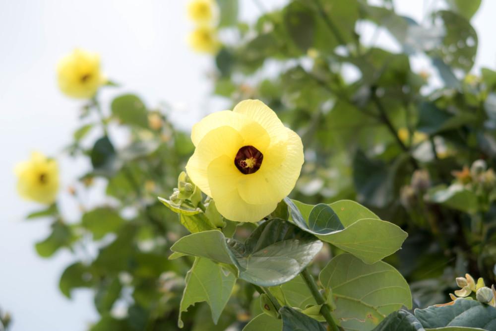 オオハマボウ(ユウナ)の花