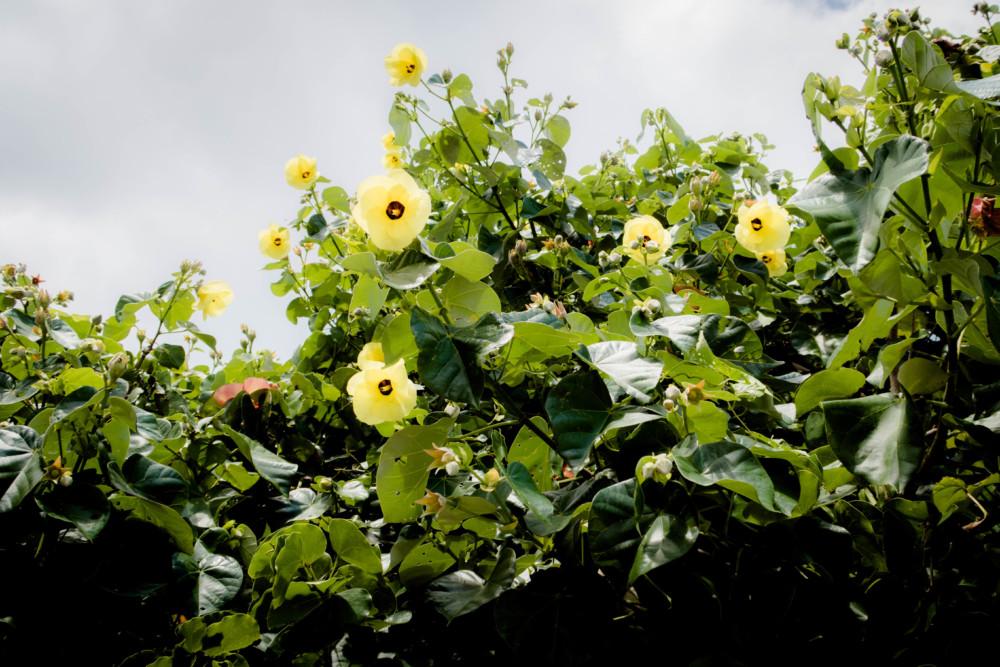 樹木に咲くオオハマボウ(ユウナ)
