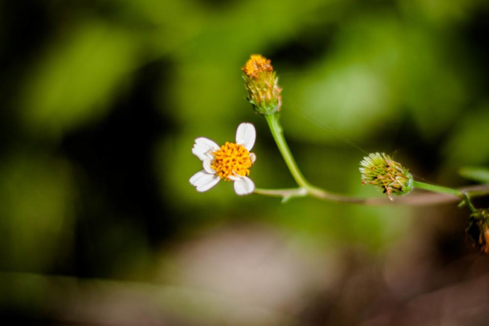 センダングサは短い期間白い花びらがある