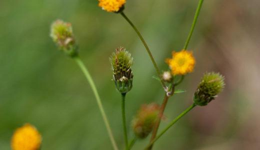 センダングサ – 秋に白い花びら黄色い花を咲かせ、種は衣服にくっつく