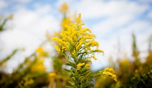 セイタカアワダチソウ – 秋に黄色い花を咲かせる雑草でブタクサと間違われることも