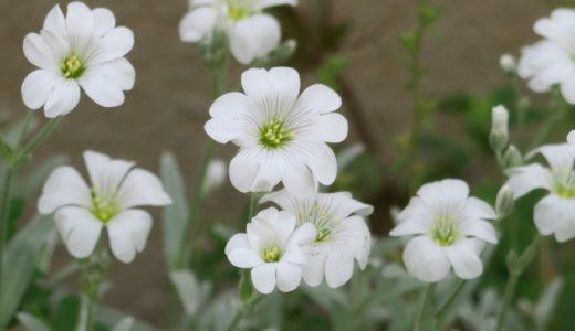 セラスチューム – 春にハート型の花びらの白い花を咲かせる夏雪草