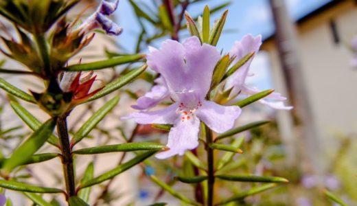 ローズマリー - ハーブでお馴染みの香りが強い花で春夏秋と楽しめる
