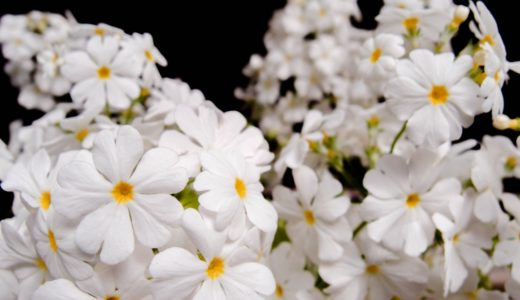 サクラソウ - 白やピンクのハート型の花びらが可愛い園芸用の花