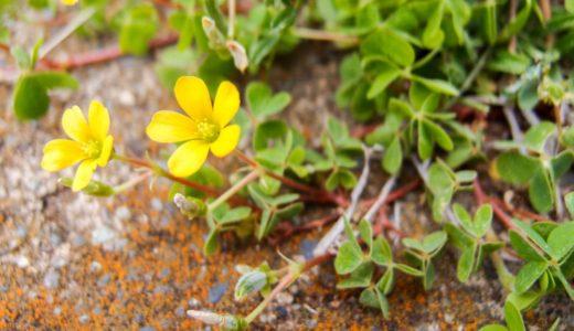 カタバミ - クローバーに似た葉で春から秋にかけて黄色い花を咲かす