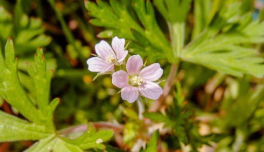 アメリカフウロ - 春から秋にかけ足元に淡いピンクの小さい花が咲く