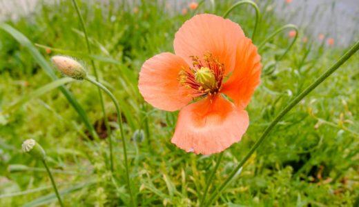 ナガミヒナゲシ - 春にオレンジ色の花を咲かせる道端の花